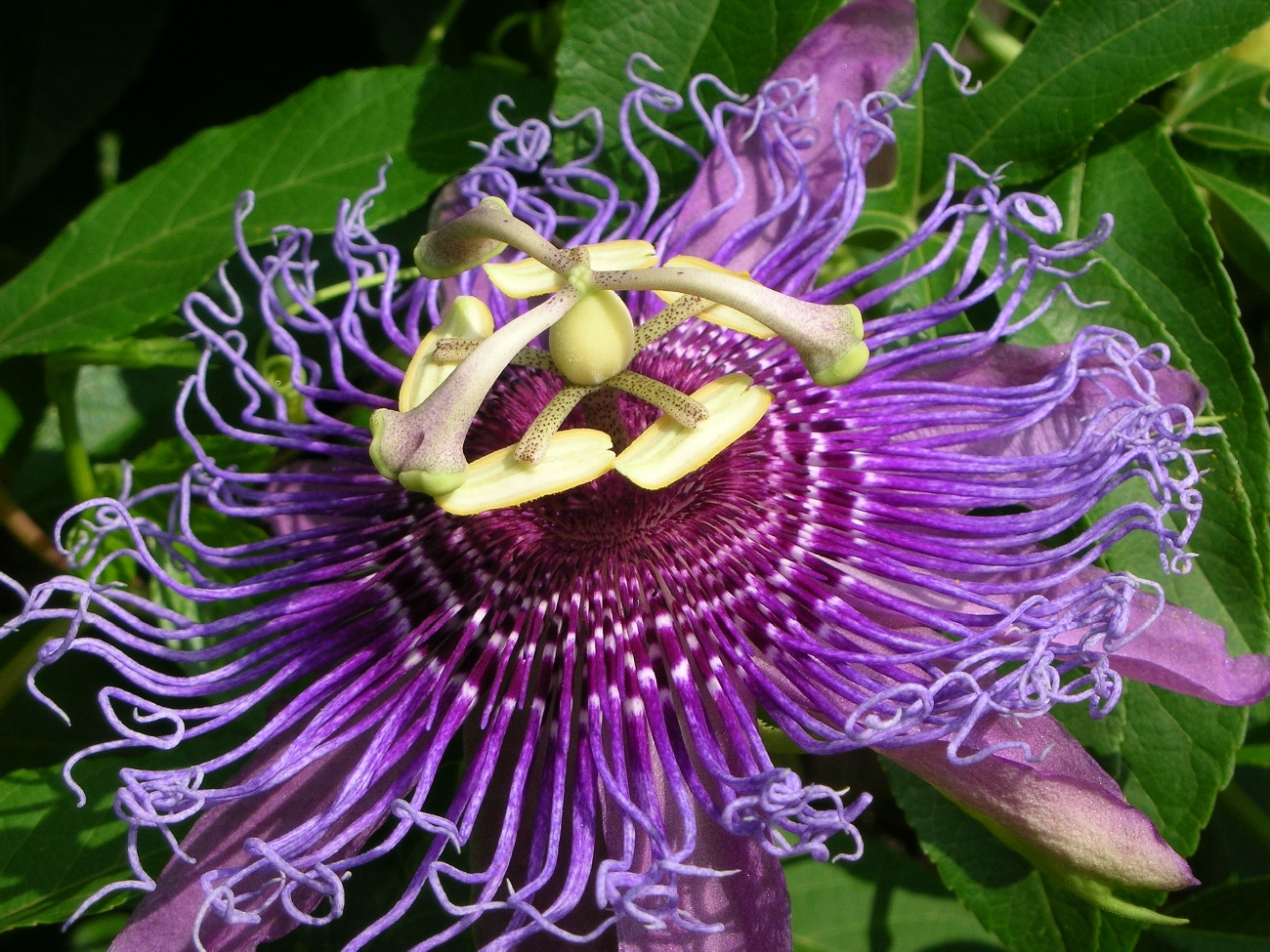 Passionflower Calming Healing Benefits for Anxiety Stress